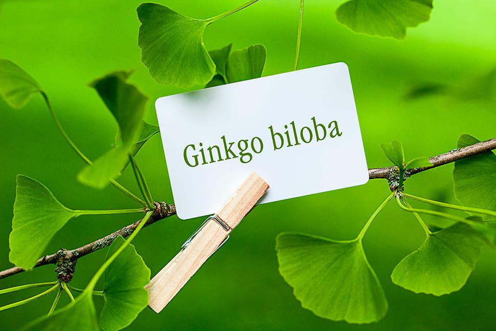 Гинкго билоба